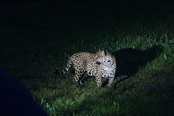 Mario Haberfeld jaguar